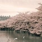上野公園の桜・花見 2017!見頃や場所取りのコツと屋台はどこに多く出る?