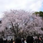 六義園の桜ライトアップ2017!日程と見ごろ、混雑を回避する方法を紹介します