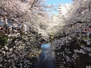 目黒川桜 2015