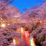 東京で桜の開花宣言!都内の桜の名所と満開日や見頃はいつまで?