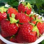 いちご狩り神奈川の平塚、伊勢原、秦野のイチゴ農園を紹介