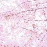 東京23区内のおすすめ桜の名所5選!2017年満開日と見頃はいつまで?